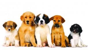 cachorros_dogshow_braganca