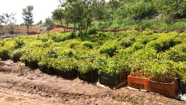 _site-mudas-reflorestamento