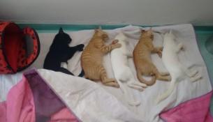 gatos-castrados