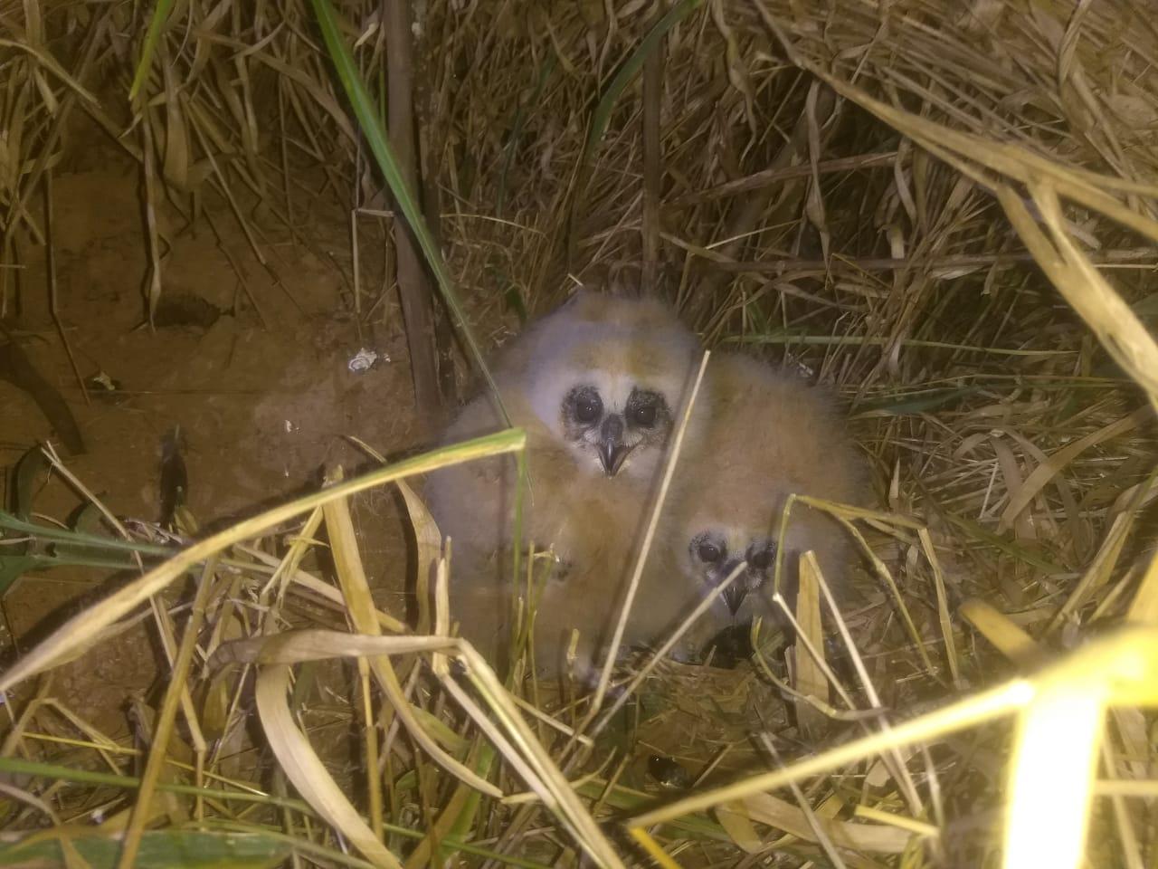Filhotes de corujas 02