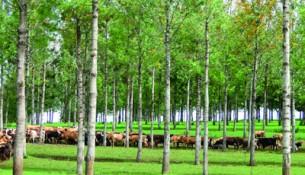 tt florestal I foto tema I sistema silvipastoril