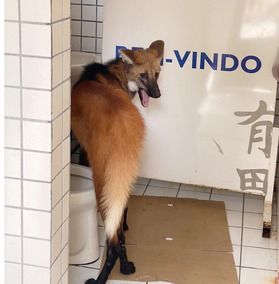 Ação conjunta resgata lobo-guará em Bragança Paulista (1)