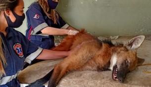 Ação conjunta resgata lobo-guará em Bragança Paulista (2)
